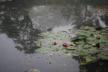 pink-nymphea.jpg