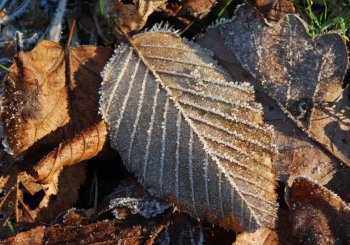 frozen-leaves.jpg