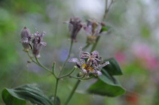 toad-lily
