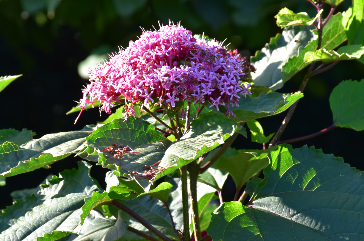 clerodendron-bungei
