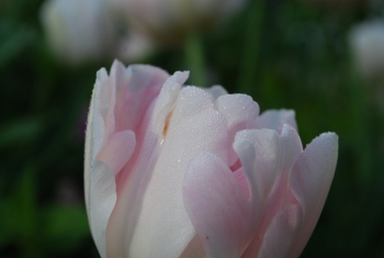 pink-tulip.jpg