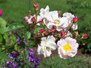 simple-roses.jpg