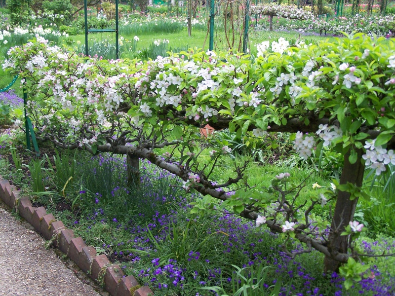 espaliered-apple-trees.jpg