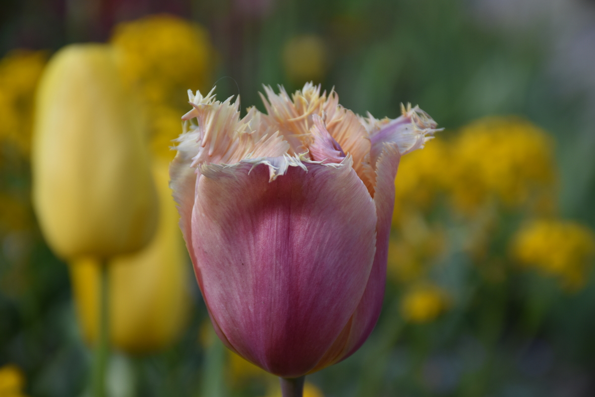 fringed-tulips