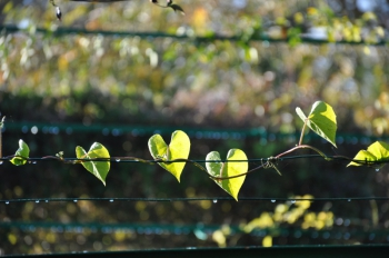heart-shaped-leaves