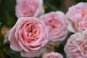 last-roses