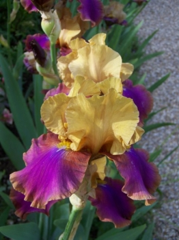 yellow-purple-iris.jpg
