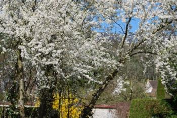 blossom giverny