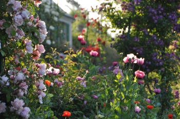 rose-poppy-giverny