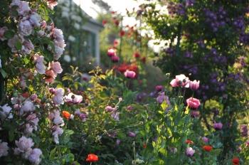 rose-poppy-giverny