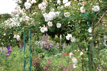 giverny-roses-june