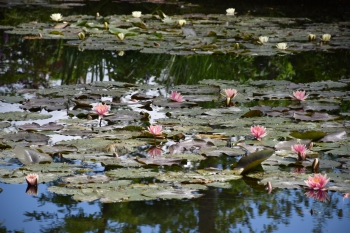 june-giverny-water-lilies