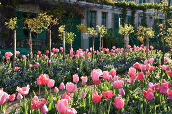 tulips-monet-house