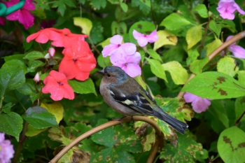 finch-giverny
