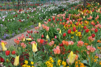 tulip-border-giverny