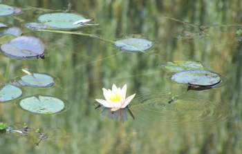 water-lily-bubble.jpg