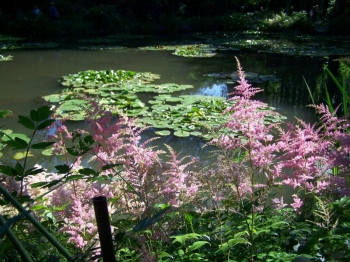astilbe.jpg