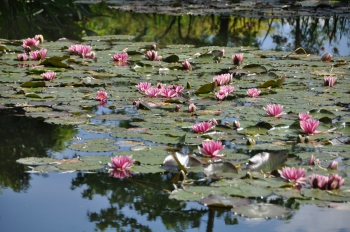 giverny-water-lilies