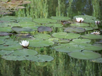 white-water-lilies.jpg